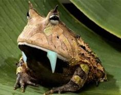 Fanged frogs, one of the new species of animals found in New Guinea.