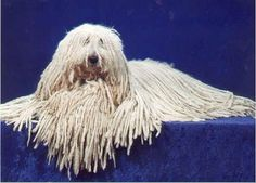 Hungarian Komondor / Hungarian Sheepdog / Mop Dog / Komondorok