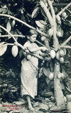 A Girl Harvesting Cocoa Pods, Ceylon 1910