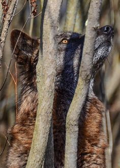 Wolf in trees looking up to the heavens from whence his salvation comes. Wolf Images, Wolf Pictures, Animal Pictures, Beautiful Creatures, Animals Beautiful, Cute Animals, Wild Animals, Wolf Spirit, Spirit Animal