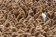 An adult king penguin sticks out like a sore thumb among the hundreds of chicks surrounding it. The sight was caught on camera by husband and wife John Eastcott and Yva Momatiuk on South Georgia Island, in the Southern Atlantic Ocean.