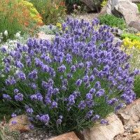 Grosso Lavender (Lavandula Grosso) is a large growing French hybrid lavender with dark blue flower spikes in mid-summer providing an abundant harvest for lavender wands, sachets and culinary use. Drought resistant perennial plant (xeric).