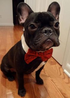 another frenchie with a bowtie