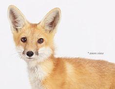 Baby Fox | Sharon Montrose | The Animal Print Shop | Baby Animal Photography Prints