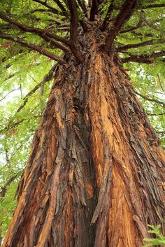 Old Redwood by Ron Lute