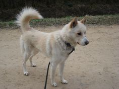 Boby husky croisé labrador