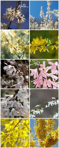 Yellow, White & Pink Forsythia...