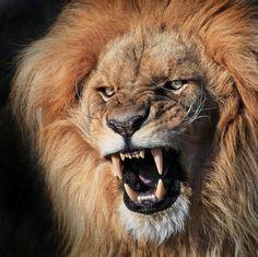 Lion / Leão.