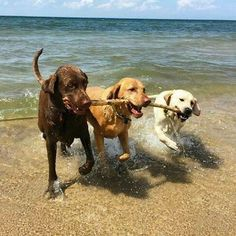 Animals And Pets, Baby Animals, Cute Animals, Pet Dogs, Dog Cat, Doggies, Labrador Dogs, Labrador Retrievers, Lab Puppies