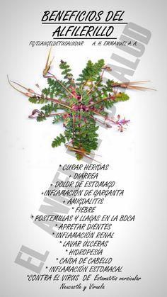 ALFILERILLO  En los estados de México, Hidalgo, Durango y Sonora, se recomienda para curar las heridas, principalmente se hace uso de las ramas y hojas.  También se usa en casos de diarrea o dolor de estómago, para lo cual se ocupa toda la planta en decocción. Para bajar la inflamación de la garganta y la calentura se bebe como té la infusión elaborada con la raíz, tallo, hojas y flor. Igualmente se ocupa para sanar las anginas, o el escorbuto en la garganta; en este caso se prescriben…