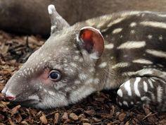 Zuid-Amerikaanse tapir baby.