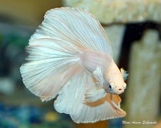Types of Betta Fish - There are lots of different types of betta fish and this article covers them in detail including breeds, patterns, colors, tail differentiation and more. #TypesofBettaFish #DOUBLETAILBETTFISH