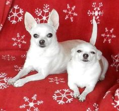 Mikey and Abigail have crossed the Rainbow Bridge, Love and miss them both❤️❤️🌈 Teacup Chihuahua, Chihuahua Puppies, Cute Puppies, Cute Dogs, Chihuahuas, Beautiful Dogs, Animals Beautiful, Baby Animals, Cute Animals
