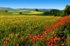 Camps de sembrat a la Segarra