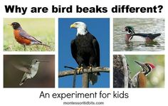 Why Are Bird Beaks Different.  Activity for kids to explore with food and beak tools from Montessori Tidbits