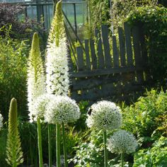:: Eremurus himalaicus - Himalaya Steppe Candle :: Designing with Perennials :: Quilting . :: Eremurus himalaicus - Himalaya Steppe Candle :: Designing with Perennials :: Quilting . Moon Garden, Dream Garden, Garden Art, Diy Garden, Amazing Gardens, Beautiful Gardens, Beautiful Flowers, Plant Design, Garden Design