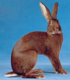 European Rabbit hare | Medium Rabbit Breeds