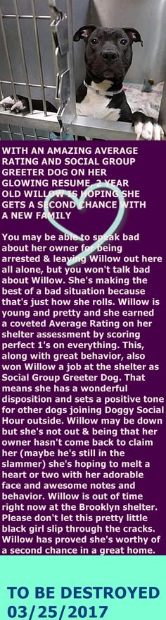 Brooklyn Center My name is WILLOW. My Animal ID # is A1105893. I am a spayed female black and white am pit bull ter. The shelter thinks I am about 1 YEAR I came in the shelter as a STRAY on 03/11/2017 from NY 11435, owner surrender reason stated was OWN ARREST. http://nycdogs.urgentpodr.org/willow-a1105893/#