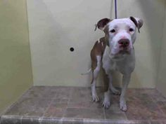 Lovables: URGENT - Manhattan Center    MR CAKE - A0993025   MALE, WHITE / BROWN, PIT BULL MIX, 4 yrs  SEIZED - STRAY WAIT, HOLD RELEASED Reason ATT PEOPLE   Intake condition INJ MINOR Intake Date 03/03/2014, From NY 10466, DueOut Date 03/06/2014, I came in with Group/Litter #K14-169629. https://www.facebook.com/Urgentdeathrowdogs/photos_stream
