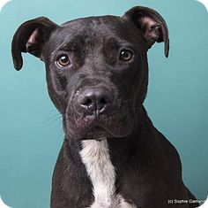 91016 SLURGENT!ADEN- Approx. 3 yr old male American Pit Bull Mix. This wonderful boy was left at the shelter gate. He has been such a great dog greeting friend and stranger alike with a fiercely wagging tail (the only thing 'fierce' about him). Aden has done well with other dogs as well and is a polite and well mannered dog. Anniston AL