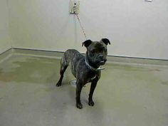 *BONSAI-ID#A704821    Shelter staff named me BONSAI.    I am a spayed female, brown brindle Pug mix.    The shelter staff think I am about 8 months old.    I have been at the shelter since Mar 17, 2013.
