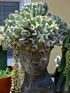 Full Size Image from Echeveria & # s; Topsy Turvy & # s; (Echeveria runyonii) You ca Succulents In Containers, Cacti And Succulents, Planting Succulents, Planting Flowers, Garden Art, Garden Plants, House Plants, Garden Design, Succulent Gardening