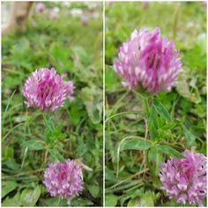Trifolium pratense (rode klaver) Grondverbeteraar, bindt stikstof in de grond. Diverse geneeskrachtige toepassingen.