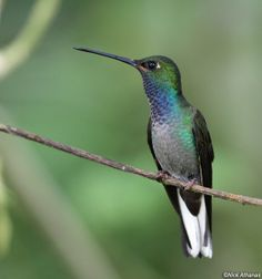 White-tailed Hillstar, Urochroa bougueri: a large hummingbird, northern Andes.  wildsumaco