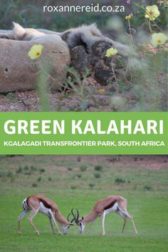 If you visit the Kgalagadi Transfrontier park after good rains in summer, the colour that will blow your mind isn't the red of its sand dunes, but green. South Africa Safari, East Africa, North Africa, Sa Tourism, All About Africa, Africa Destinations, Kruger National Park, African Safari, Africa Travel
