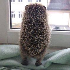 Lol Awww hedgehog butt