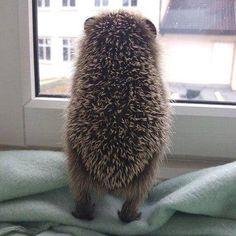 Lol Awww hedgehog butt