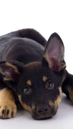 German shepherd    #cute #DOG #puppy #dogs #puppies