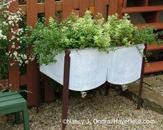 Mints are a pleasure for the senses but can spread far and wide if left unsupervised. This raised planter (an old washtub) keeps my peppermint (Mentha x piperita) and pineapple mint (M. suaveolens 'Variegata') under control and within easy reach for harvesting, as well.