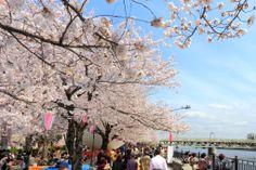 Yoshino cherry at Sumida park More Japanese pics ... http://jpnpics.com