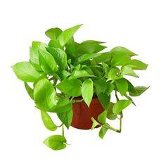 Neon Pothos Houseplant - 4 Pot