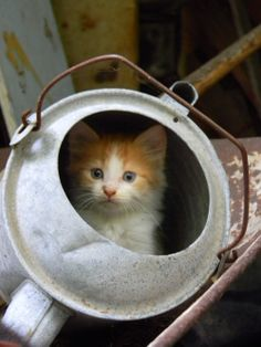 Old Watering Can...with a country kitty.  GIVE THEM A BOX OR ANY THING WITH AN OPENING AND THEY WILL TAKE IT OVER