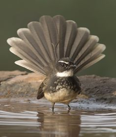 Browse Free HD Images of Fantail Bird Bathing In Shallow Water