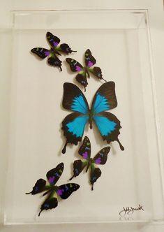 Butterfly display, framed butterflies, mounted butterflies, butterfly art, real…