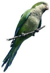 Papagaio Caturrita (Myiopsitta monachus)