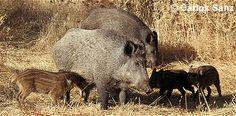 Jabalí (Sus scrofa). El jabalí es muy parecido al cerdo doméstico. Su cabeza es alargada y más o menos cónica, y termina en una especie de callo plano. Los ojos son sumamente pequeños y densamente negros.