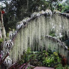 Xerographicas and Spanish Moss hanging out at the Bromeliad Garden, Singapore Botanic Gardens