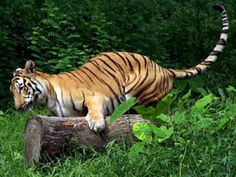 The Tiger Ran Away From The Enclosure.A Bengal Tiger which is 3 year-old has escaped from the Zoo as 7 meter-high wall around the enclosure had collapsed