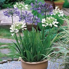 Blue/White Agapanthus Collection
