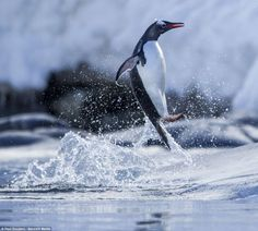 Ocean spray: The gentoo penguin kicked up a shower of droplets as it jumped around in the water near Port Lockroy on Wiencke Island in Antarctica