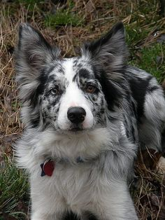 Border collie! Love border collie ears!