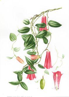 Doodlewash - Botanical Illustration by Işık Güner of Lapageria Rosea © Royal…