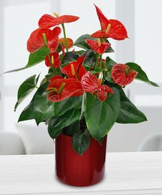 Anthirium Plant-Surprise someone with a beautiful and bright red anthirium. Like all our other plants, you can replant it! Anthiriums are also easy to take care of and don't require too much water. They're great for just about any occasion and look beautiful in an office or home setting. #IndoorPlants #Houseplants #Anthirium