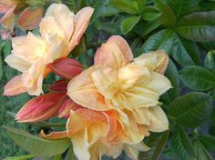 Rhododendron luteum 'Csardas' (Knap-Hill Azalee): Lubera.de