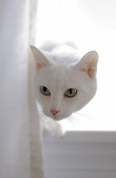 Beautiful, clear eyes against a perfectly white coat!
