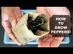 How to Grow Peppers from Seed! - YouTube